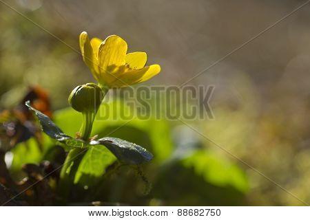 Caltha palustris, marsh-marigold or kingcup in sunrise, Vosges, France