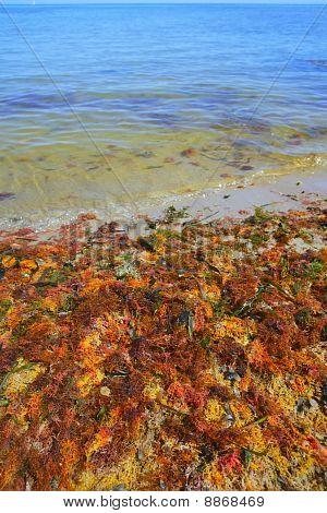 Colorful Yellow Red Seaweed Sea Algae