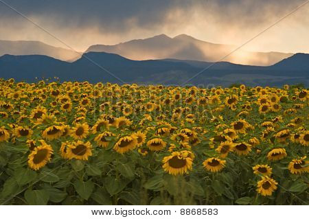 Sunflowers Before The Storm