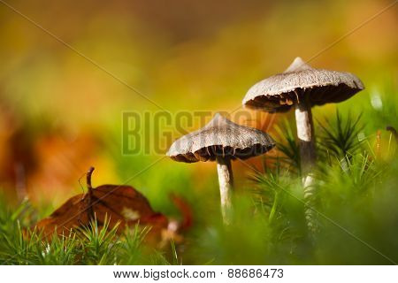 Mycena pura, lilac bonnet in mosses, Vosges, France