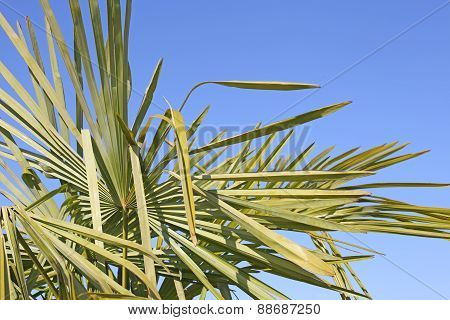 Green Palm With Long Leaves And The Blue Sky