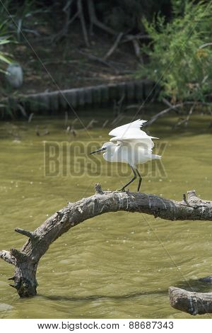 The Little Egret Is Ready To Fly