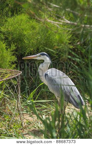 Grey Heron (ardea Cinerea) Bird
