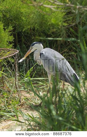 Grey Heron (ardea Cinerea) Is Eating A Fish