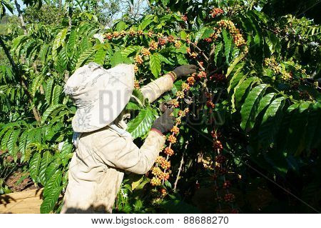 Asian Farmer Pick Coffee Bean