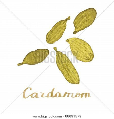 Watercolor cardamom on the white background, aquarelle.  Vector illustration.