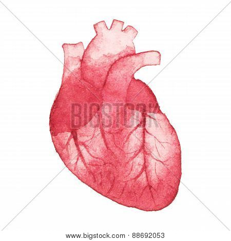 Watercolor realistic human heart on the white background, aquarelle.  Vector illustration. Hand-draw
