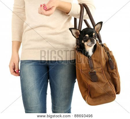 Woman carrying cute chihuahua puppy in her bag isolated on white