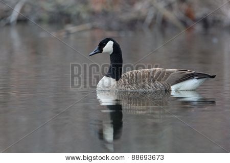 Canada Goose Swimming On A Pond