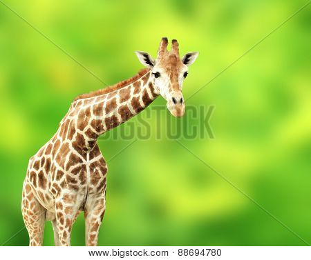 Giraffe on green background
