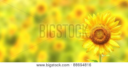 Bright yellow sunflowers on yellow background
