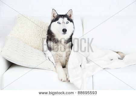Beautiful cute husky with towel lying on sofa in white room