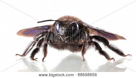 European Carpenter Bee (xylocopa Violacea) En Face