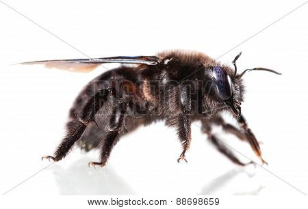 Violet Carpenter Bee Side View