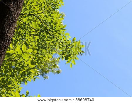 Ash Tree Crown And Blue Sky