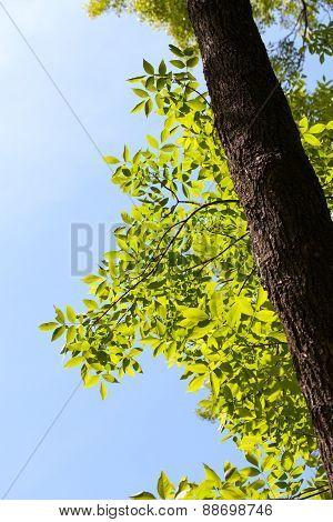 Ash Tree At Sunny Day