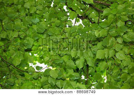Lime Tree Foliage Background