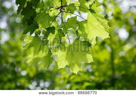 Morning Sun On Maple Leaves