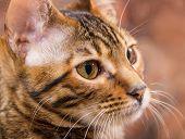 foto of tabby-cat  - Portrait of brown mackerel tabby cat close - JPG