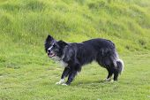 picture of border collie  - A border collie poised and ready for action - JPG