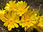 picture of adonis  - Plant of the adonis spring with bright yellow flowers - JPG