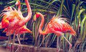 stock photo of pink flamingos  - Pink flamingo close - JPG