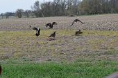 foto of buzzard  - a flock of buzzards fighting over some food - JPG