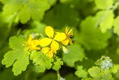 foto of celandine  - Yellow flower of celandine close up on a background of green leaves - JPG