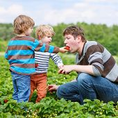 picture of strawberry blonde  - Two little funny kid boys and their father on organic strawberry farm in summer picking and eating fresh ripe berries - JPG