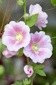 picture of may-flower  - Alcea - JPG