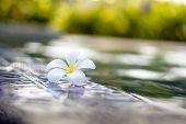 stock photo of plumeria flower  - Plumeria flowers are most fragrant at night - JPG
