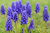 pic of orientation  - Grape hyacinth  - JPG