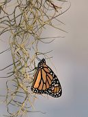 "stock photo of tillandsia  - ""newborn"" monarch butterfly resting on spanish moss - JPG"
