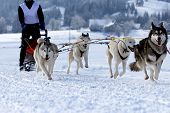 foto of sled  - Group of sled dogs running through lonely winter landscape - JPG