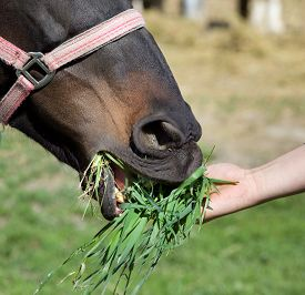 pic of feeding horse  - Close up of horse eating fresh grass from male - JPG