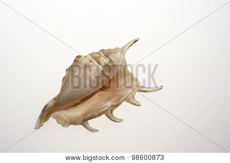 One Sea Shell On Isolated White