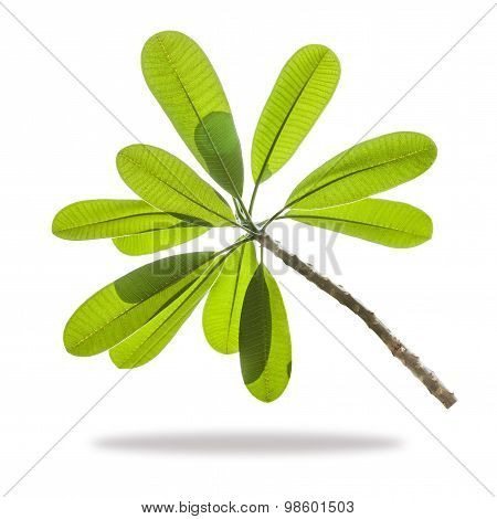 Frangipani Plumeria Branch Isolated On White Background
