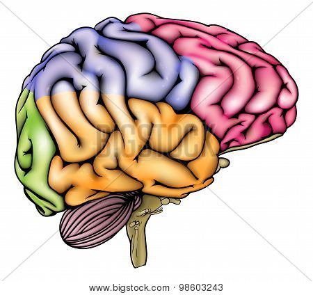 Human Brain Anatomy Sectioned