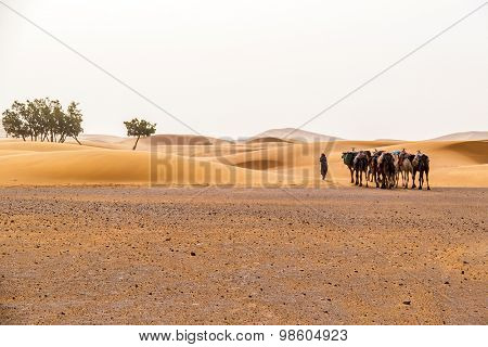 Camels for tourist trips on sand dunes in Merzouga, Morocco