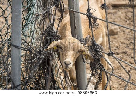 Lamb Looking Through A Fence