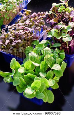 assortment of microgreens