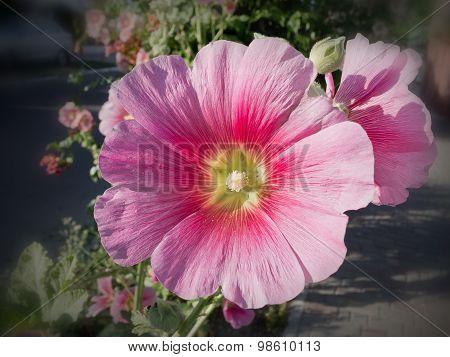 pink hollyhock