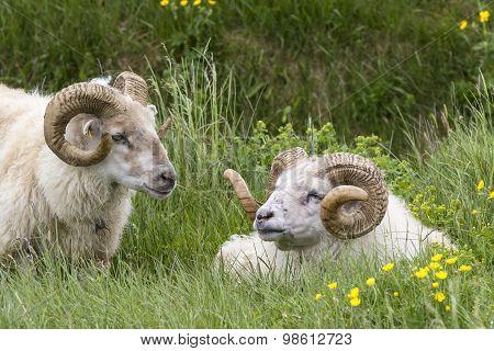 Two Icelandic Sheep Rams