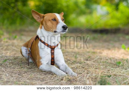 Basenji dog having rest lying on the ground