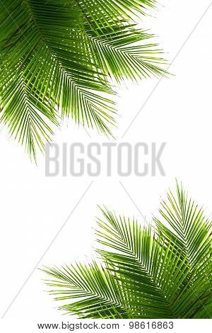 Coconut Leaves Frame Isolated On White Background, Clipping Path Included