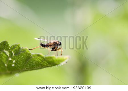 Fly on a green nettle leaf