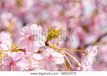 Close up cherry blossoms