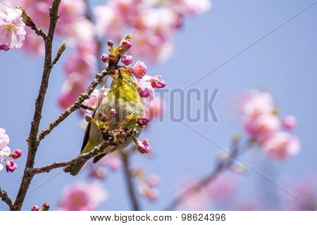 Japanese white-eye bird