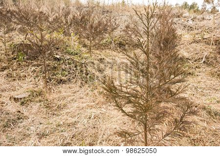 Japanese cedar young trees