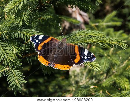 Butterfly red admiral, vanessa atalanta, sitting on a branch